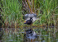 Common Loon (Gavia immer) incubating egg on nest.  Northern North America, June.  Sometimes also called Great Northern Loon or Diver.