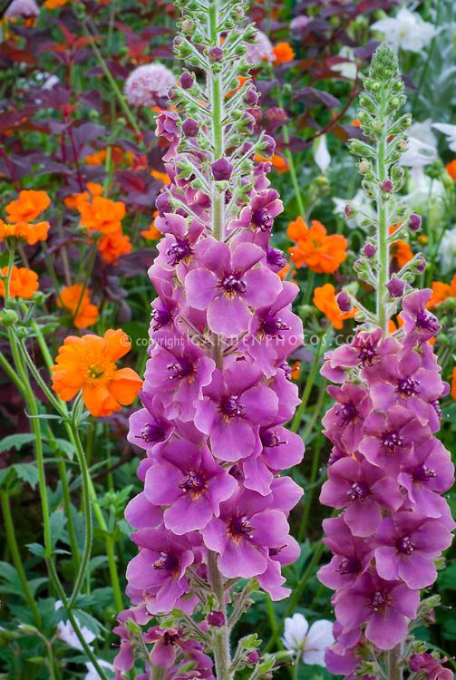 Verbascum 'Sugar Plum' mullein with purple lavender flowers, tall perennial with vertical interest in the garden
