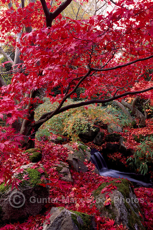 Japanese Maple Tree in Autumn in Beacon Hill Park, Victoria, BC, British Columbia, Canada
