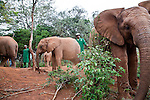 Elephant keepers watch over the orphaned baby elephants at the David Sheldrick Wildlife Trust in Nairobi National Park.