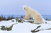 Male Polar bear walks along the Canadian Shield rock along the Hudson bay in Churchill, Manitoba, CANADA.