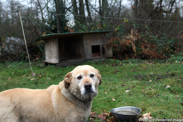 Yeller is a yellow lab who is kept outside continuously on a long chain in Redmond,Wash. on December 9, 2008.  His owners Jack and Eleanor Windsor don't want him in the house because he isn't potty trained and he sheds and it makes a mess.  (Karen Ducey/Seattle Post-Intelligencer)