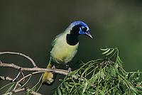 Green Jay, Cyanocorax yncas, adult, Starr County, Rio Grande Valley, Texas, USA, March 2002