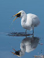 A Great Egret, Ardea alba, swallows a California Meadow Vole, Microtus californicus, at Colusa National Wildlife Refuge, California