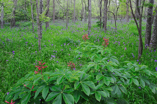 Red Buckeye (Aesculus pavia) and Prairie Spiderwort (Tradescantia occidentalis), blooming on forest floor, Palmetto State Park, Gonzales County, Texas, USA