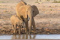 African Elephants (Loxodonta africana) adult female and calf, drinking at river in semi-desert dry savannah, Samburu National Reserve, Kenya, Africa
