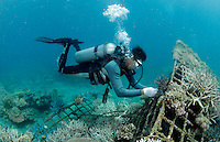 A staff diver fastening coral on a metal structure, part of the Biorock reef project in Pemuteran.  ..A low voltage direct current is applied on metal structures using an anode. Once the reef structure is in place and minerals begin to coat the surface, the next phase of reef construction begins. Divers transplant coral fragments from other reefs . Immediately, these coral pieces begin to bond to the accreted mineral substrate and start to grow—typically three to five times faster than normal. Soon other marine life starts colonizing the structure as well...Some say the effort is severely limited. While the method may be useful in bringing small areas of damaged coral back to life, it has very limited application in vast areas that need protection.