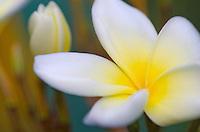White Frangipani (Plumeria) blossom<br /> Virgin Islands