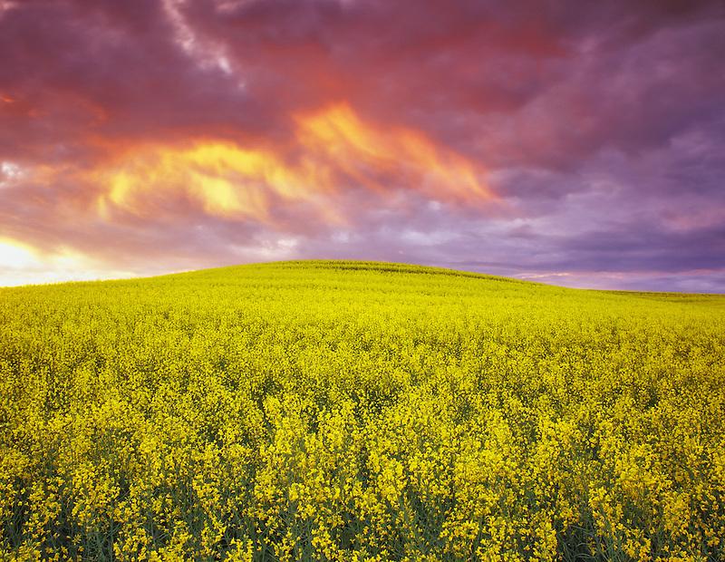 F00061M.tiff  Yellow Canola and sunrise. The Palouse near Colfax, Washington
