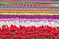Field of multi colored tulips . Tulip Town. Mt. Vernon. Washington