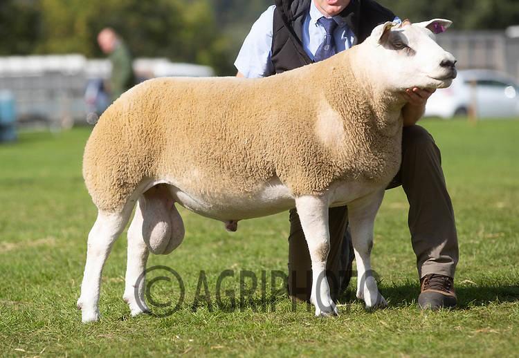 Kelso Ram Sale 2018<br /> Lot 3404       texel 6500gns Neil Harvey, Blackadder<br /> ©Tim Scrivener Photographer 07850 303986<br />      ....Covering Agriculture In The UK....