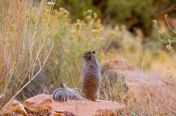 Rock Squirrel (Spermophilus variegatus). Capitol Reef National Park, Utah. Fall