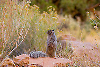 Rock Squirrel (Spermophilus variegatus). Capitol Reef National Park, Utah. Fall