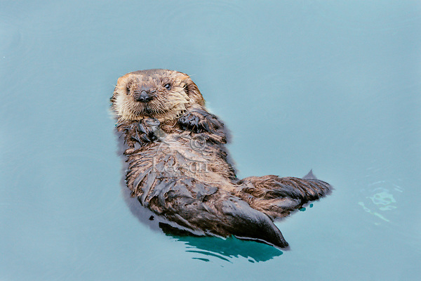 Very Young Sea Otter (Enhydra lutris) pup resting in sheltered bay on Prince William Sound, Alaska.  Spring.   About all this pup can do is float (hasn't learned to swim yet}, sleep, and cry for its mom.