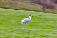 Sarus Crane on the run. Wildlife Safari. Winston, Oregon