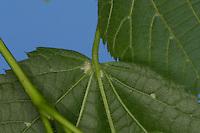 Sommer-Linde, Sommerlinde, Linde, Blattunterseite,Tilia platyphyllos, Tilia grandifolia, large-leaved lime, Large Leaved Lime, largeleaf linden, large-leaved linden, Le tilleul à grandes feuilles
