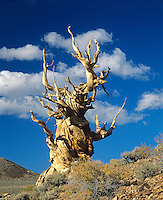 A 4500 year old BRISTLE CONE PINE  found in the WHITE MOUNTAINS east of the Owens Valley - CALIFORNIA