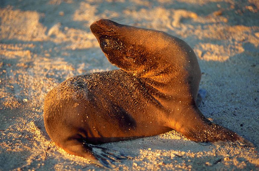 Sea lion sunning himself, Espanola or Hood Island, Galapagos Islands, Ecuador