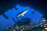 sand tiger shark within the wreck of the WE Hutton, Carcharias taurus, Morehead City, North Carolina, Outer Banks, Atlantic Ocean, USA