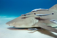 Lemon shark with live sharksuckers, Northern Bahamas, Negaprion brevirostris, Echeneis naucrates, Bahamas, Caribbean, Atlantic