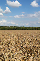 10-8-2021 Winter wheat ready for harvest<br /> ©Tim Scrivener Photographer 07850 303986<br />      ....Covering Agriculture In The UK....