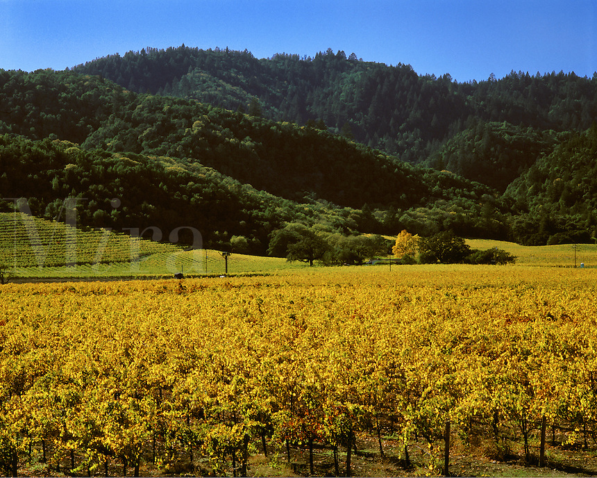 GRAPE VINES turn a beautiful golden color as autumn  descends on the NAPA VALLEY - CALIFORNIA.
