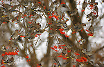 A flock of bohemian waxwings feed on the berries of a mountain ash in Montana.