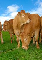 Limousin heifers, Cumbria, England, UK.
