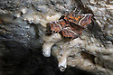 Herald Moths {Scoliopteryx libatrix} hibernating in a limestone cave. Peak District National Park, Derbyshire, UK. October.