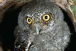 Elf owlet in nest cavity, Sonoran Desert, Arizona.