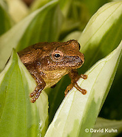 0302-0913  Spring Peeper Frog, Pseudacris crucifer (formerly: Hyla crucifer)  © David Kuhn/Dwight Kuhn Photography
