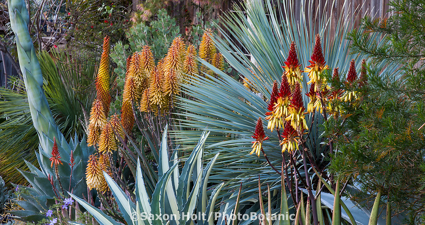 Aloe wickensii (Geelaalwyn) flowering succculent in Gerhard Bock garden with Agave americana mediopicta alba in front of Yucca rostrata'Saphire Skies' and yellow flowering Aloe 'Moonglow'