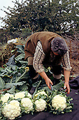 Rural Czech Republic. Woman farmer preparing cauliflowers for market using a paring knife.