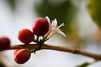 Coffee cherries and flowers flourish at a coffee plantation on Kona, Big Island