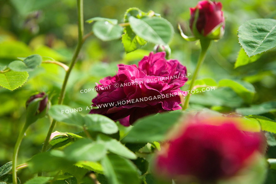 """""""The subject of old roses sparks many thoughts -- of romance, history, and big, overgrown gardens full of cottage flowers.  However, old roses are fine plants for modern gardens and fit into a variety of situations. They offer color, scent, form and -- in or out of bloom -- they are always worth a good story. Old roses have a past, and they aren't afraid to admit it."""".The fragrant, deep raspberry colored blooms of the rose 'Chianti' are especially noticeable when trained as a climber across an arbor or gate."""