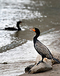 Double-crested Cormorant on the beach of Cherry Creek State Park in Denver, Colorado