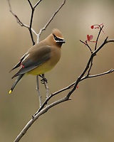Cedar Waxwing from April, redbud tree perch.<br /> I liked the serendipitous small heart shaped leaf I saw in this one.
