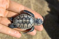 Hawksbill Turtle Hatchling at Flinder's Beach, Mapoon, Cape York Peninsula