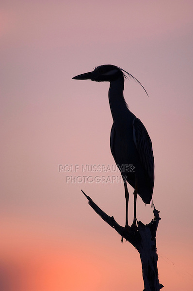 Yellow-crowned Night-Heron, Nyctanassa violacea, adult perched at sunset, Willacy County, Rio Grande Valley, Texas, USA
