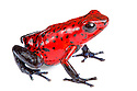 Strawberry Poison Frog {Oophaga pumilio} photographed on a white background in mobile field studio. Central Caribbean foothills, Costa Rica. May.