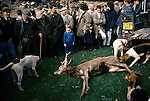 Quantock Staghounds 1990s UK Somerset an Exmoor. The culled deer on local farmers land. Entrails will be fed to hounds Rural community hunt followers 1997.