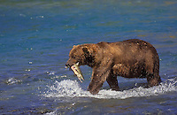 Brown Bear (Ursus arctos middendorffi) carries chum salmon catch to shore to eat, summer, McNeil River, Alaska.