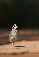 Northern Bobwhite (Colinus virginianus), male, Rio Grande Valley, South Texas, Texas, USA