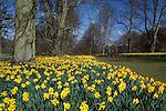 United Kingdom, England, Suffolk: Avenue of Spring Daffodils in Nowton Park near town of Bury Saint Edmunds