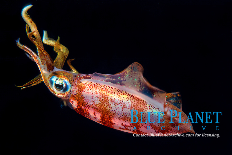 Caribbean reef squid or Atlantic oval squid, Sepioteuthis sepioidea, Dominica, Caribbean Sea, Atlantic Ocean
