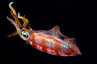 Caribbean reef squid or Atlantic oval squid, Sepioteuthis sepioidea, Dominica, Caribbean Sea, Atlantic Ocean