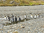 End Of Shackleton Hike - Last 6 Km. King Penguins On Beach At Stromness Harbour.