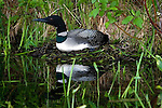 Common loon (Gavia immer) sitting on a nest. Summer.  Winter, WI.