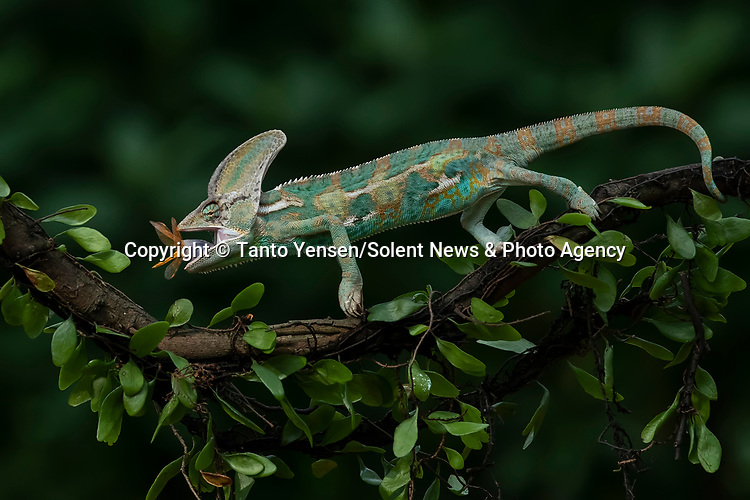 SEQUENCE 8 OF 9:  A chameleon balances on a thin branch as it catches a dragonfly with its long and sticky tongue.  The brightly patterned reptile leans forward to strike at the small orange insect.<br /> <br /> The images were captured by professional photographer Tanto Yensen, in Jakarta, Indonesia.   SEE OUR COPY FOR DETAILS<br /> <br /> Please byline: Tanto Yensen/Solent News<br /> <br /> © Tanto Yensen/Solent News & Photo Agency<br /> UK +44 (0) 2380 458800