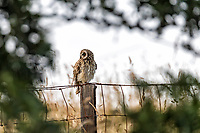 Hawai'i's native short-eared owl, the pueo, as seen through a window of a māmane tree in Kamuela, Big Island.